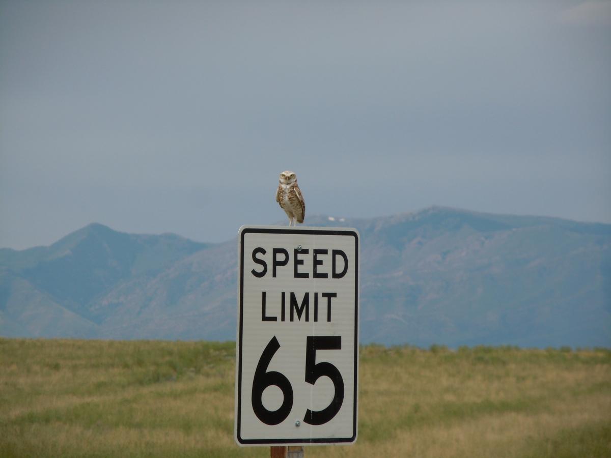 Üregi bagoly egy sebességkorlátozó táblán, valahol Montana államban, az USÁ-ban