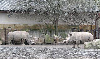 Rinocéroszok egy állatkertben