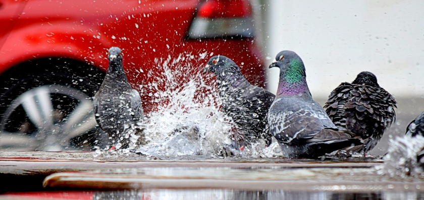 color-fun-pigeons-166639
